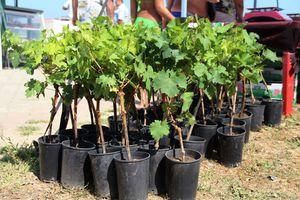 Однолетние саженцы винограда в горшках