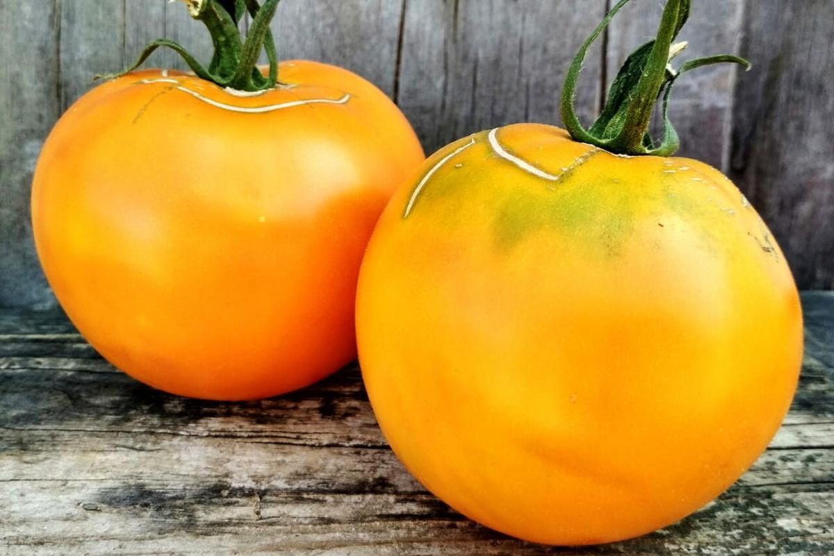 Желтые помидоры сорт апельсин